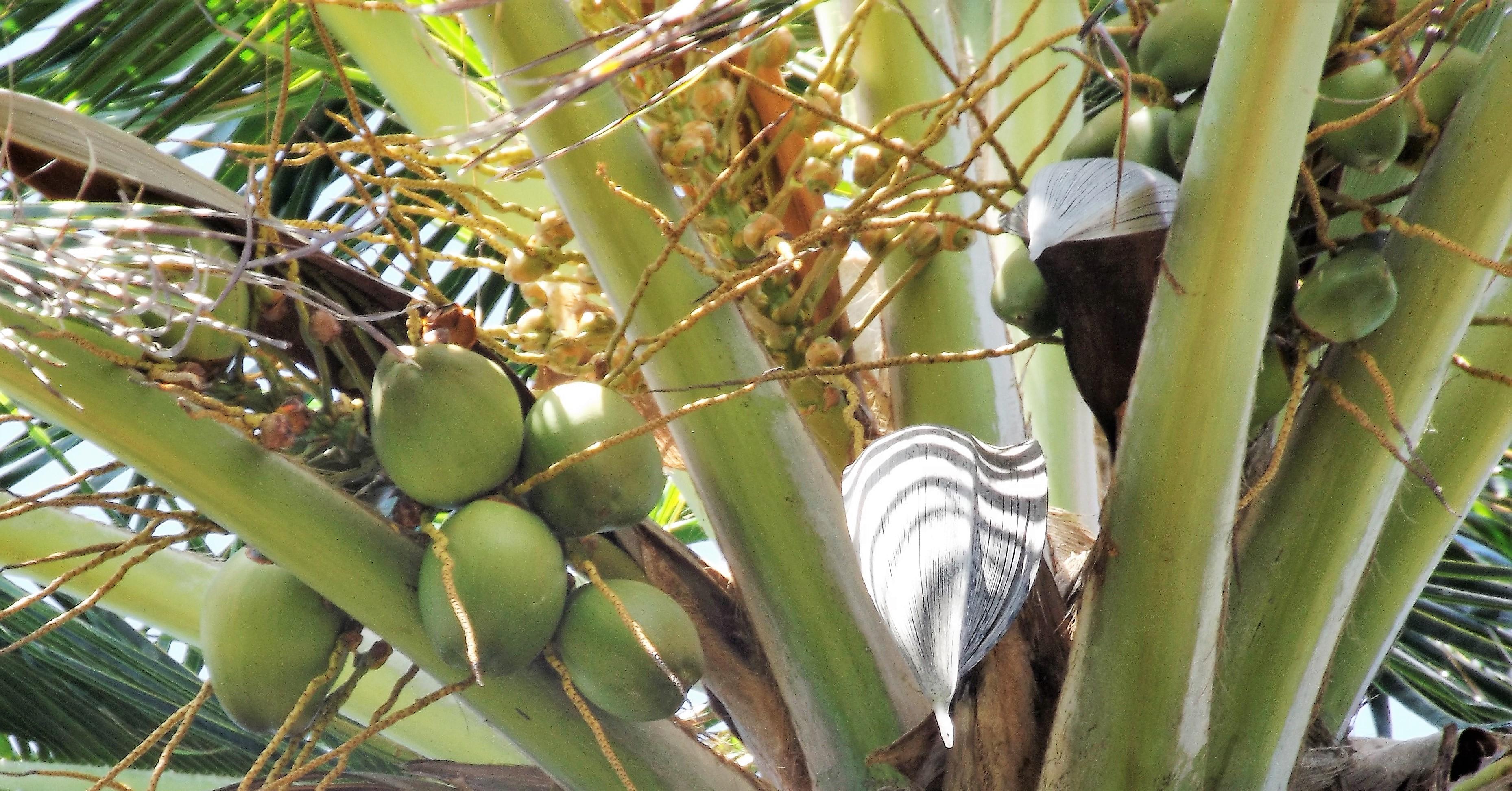 Le Cocotier - la noix de coco